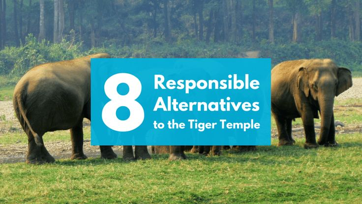 Responsible Alternatives to the Tiger Temple in Thailand, at Boon Lott's Elephant Sanctuary, Burm and Emily's Elephant Sanctuary, and slightly further away, The Surin Project.