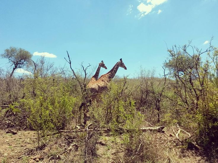 Giraffe right infront of the family unit. Beautiful Summers day in madikwe photo Credit: Chantelle Terblanche