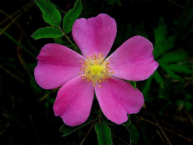 Wild Rose (Iowa State Flower) | Travel: Iowa, USA ...