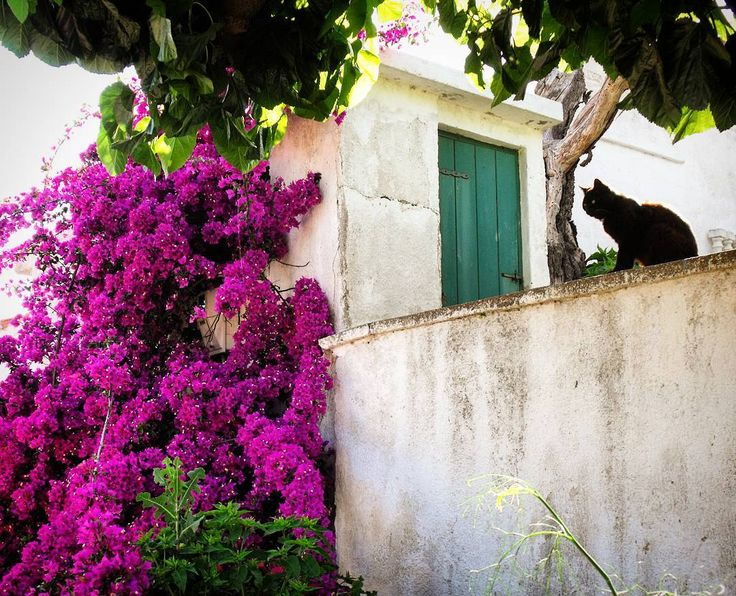 One of the many features of Greek islands  which visitors encounter is the number of stray and feral cats . Alonnisos Island Greece.