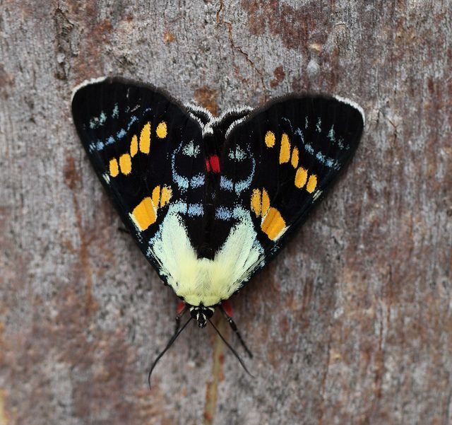 moth Joseph's Coat Moth (Agarista agricola) - Noctuidae - female  Cania Gorge NP, QLD, Australia  https://www.flickr.com/photos/31914013@N05/6705854259/in/photostream/