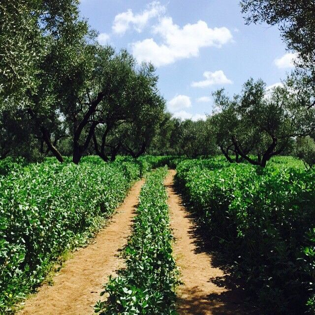Where we love to go, in this ruggedly beautiful Olive Grove #TerrediMutari #bestplaces #hearthyplaces #olivegrove #nofilter #picoftheday #lovenature