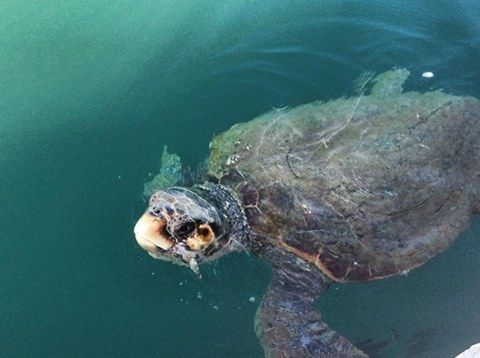 Sea turtle at Kefalonia island/ Greece