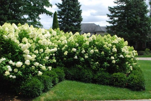 Limelight hydrangeas. They can get as high as 8 feet tall, 4-6 feet wide And grow best in Zones: 4-9 They're easy to care for and maintain. Great shrubs for the landscape.