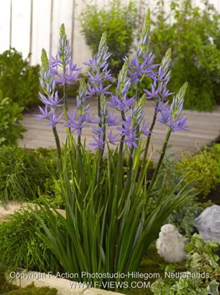 Camassia Leichtlinii Caerulea: Hardy Bulb, Sun Part Shade, Native, Cut  Flower