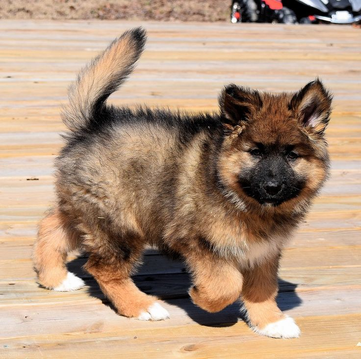 German Indian Dog, Hypoallergenic Puppies, Native American Indian Dog