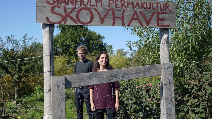 Skovlandbrug og skovhaver er et reelt alternativ til det konventionelle landbrug i Danmark. Det mener blandt andre Esben Schultz og Mira Illeris, der har skabt Svanholm permakultur skovhave i Skibby på Sjælland. I skovhaven manipuleres naturen i flere lag af bunddækker, buske og træer. Og på den måde skabes en lang og produktiv vækstsæson på naturens præmisser, som er til gavn ikke bare for miljøet men også for variationen i vores kost. (Vært: Dorte Dalgaard)