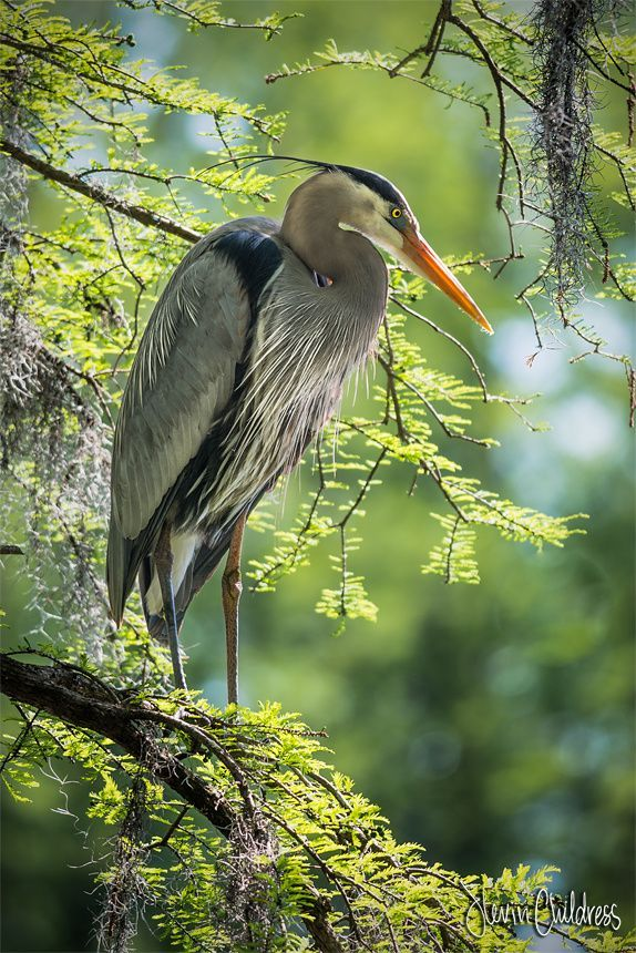 Great Blue Heron by Kevin Childress on 500px