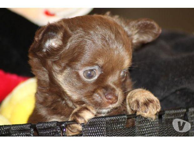 chihuahua vendre achat vente animaux mons 7000 avec vivastreet chichi chihuahua. Black Bedroom Furniture Sets. Home Design Ideas