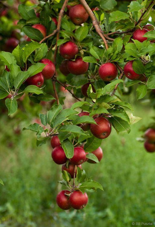 #fruits #maçãs