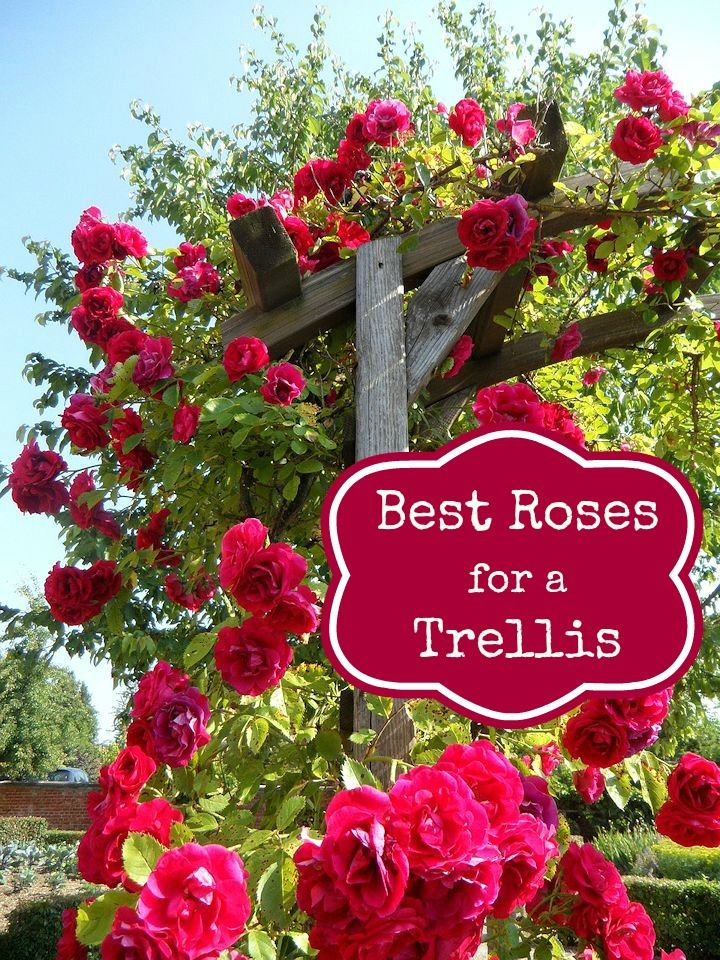 Best Roses to Use in an Archway or Trellis - Mom Foodie - Blommi (Diy Garden Trellis)