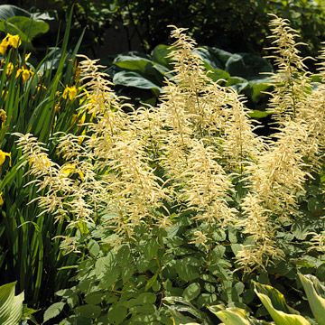 """The #Pacific #Northwest - Goatsbeard  """"Top native plants for your region"""" from @Better Homes and Gardens  http://www.bhg.com/gardening/gardening-by-region/regional-gardening/top-native-plants-for-your-region/#page=6"""