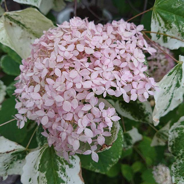 New The 10 Best Garden Ideas Today With Pictures ピンクのアナベルが 咲き進んで 淡いピンクで咲いています アナベルの葉っぱみたいに映ってますが 斑入りの葉っぱは 隣で育つ ハナズオウ シルバークラウド うんうん なかなかいい 斑入り アジサイ フラワー