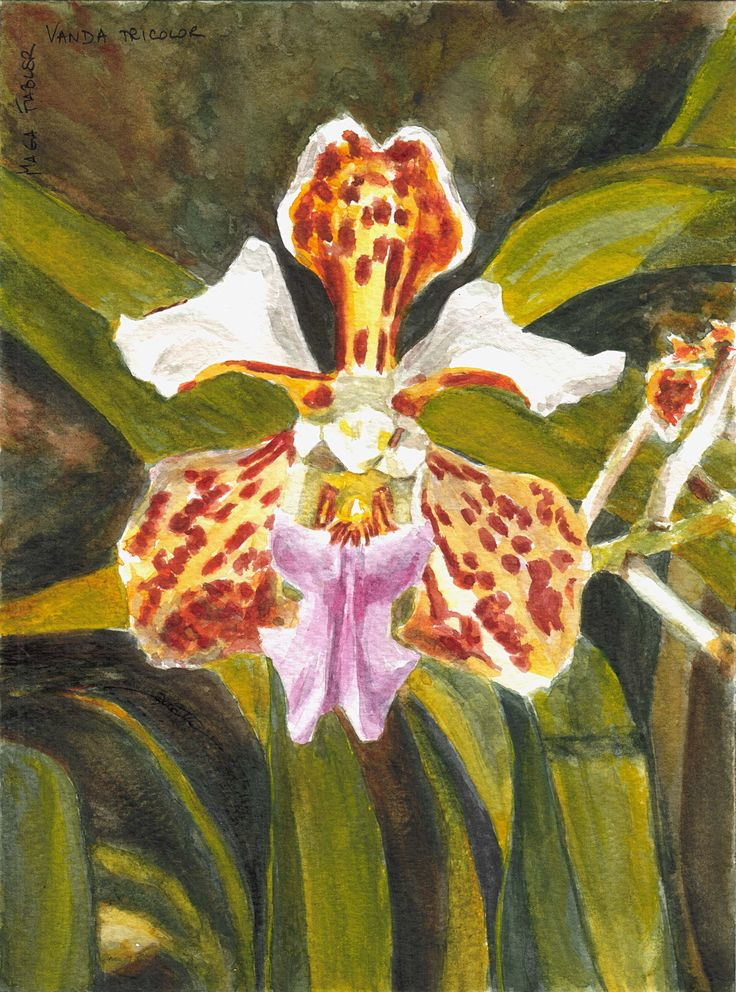 Vanda tricolor, orchid by Maga Fabler; watercolor