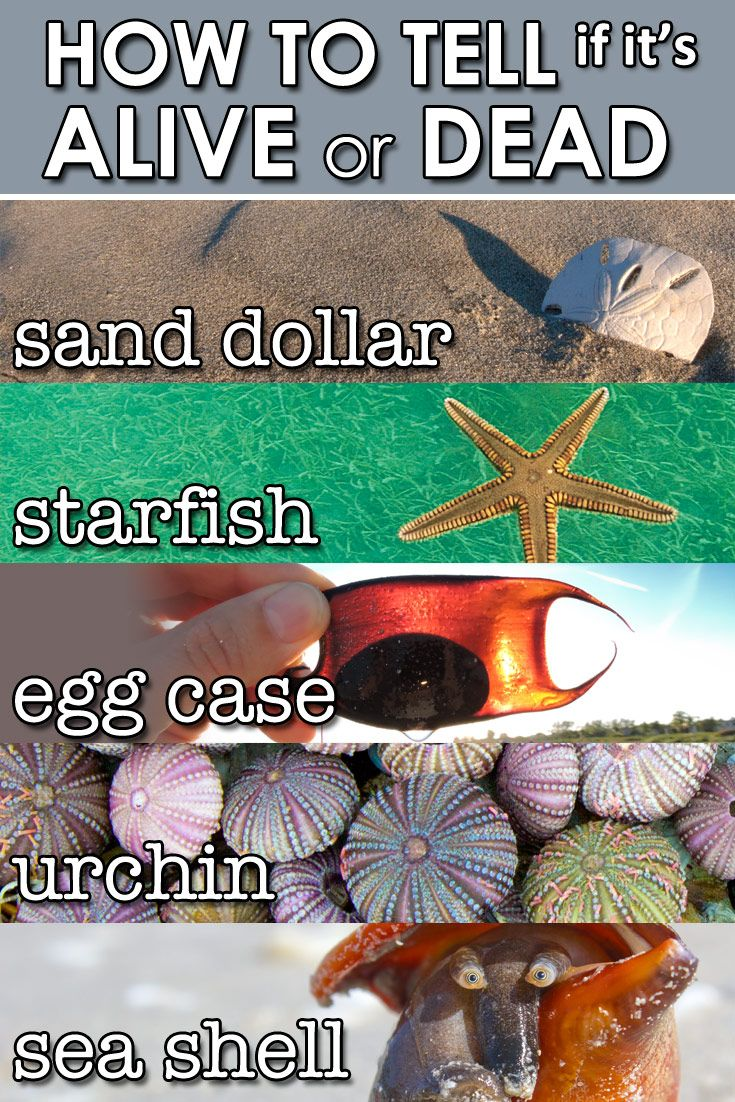 Attention shell collectors! Quick tips on how to tell if a creature on the beach…
