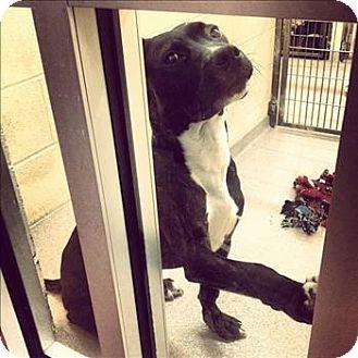 Birmingham, AL - Labrador Retriever Mix. Meet Cash a Dog for Adoption.