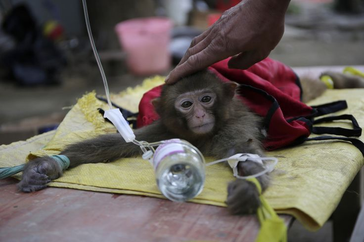 A monkey trainer touches the head of a sick monkey as it receives treatment in Wuhan, Hubei province, China.