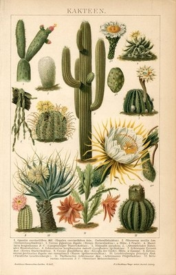 """1894 CACTUS CACTI FLOWERS Antique Chromolithograph Print.  Original old German colour chromolithograph print/book plate(not a modern reproduction)comes from a German lexicon.     The print has been printed by Bibliographisches Institut Leipzig,Germany in 1894.    The overall size of this print with margins approx 9 3/4"""" x 6 1/2"""".  Bought/Sold $19.49 5-23-13"""