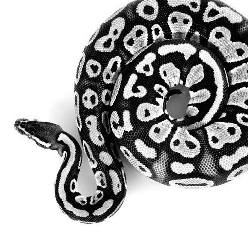 love that this photo is B&W - it gives this great graphic quality and the pattern of the snake really jumps out.  Also love the crop.