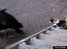 Cat Fights BearCat Fend, Breaking News, Black Bears, Cat Protective, Cat Big, Cat Fight, Cat News, Animal Stories, Amazing Animal