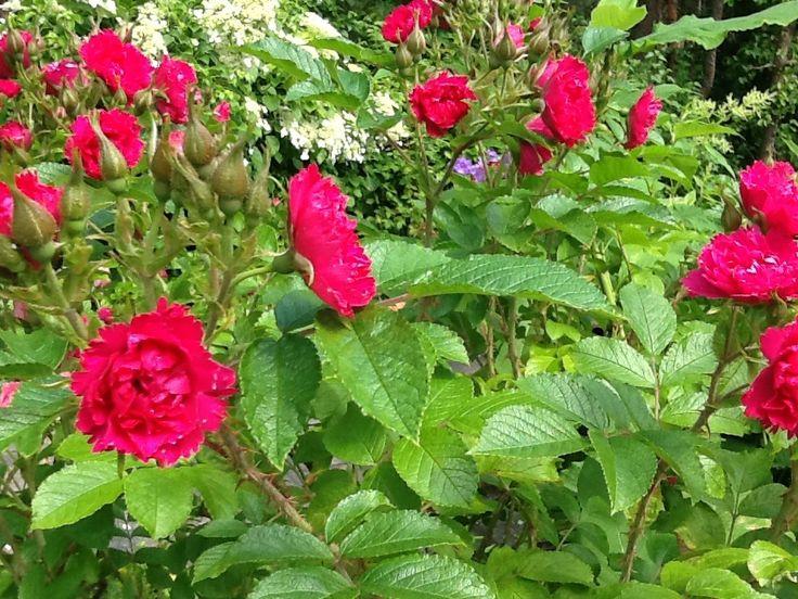 Neilikkaruusu tummanpunainen