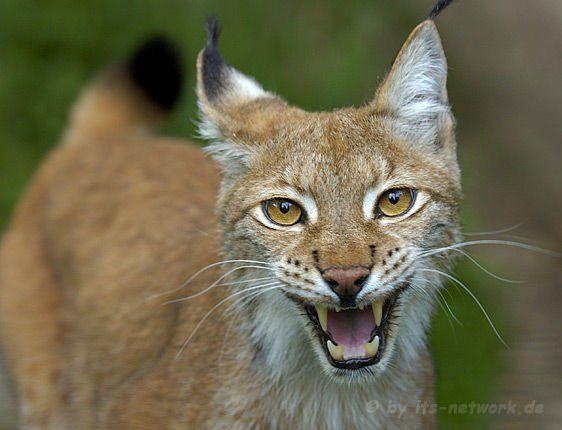 Desert Lynx | Desert Lynx cats Pictures, Free Animal ...