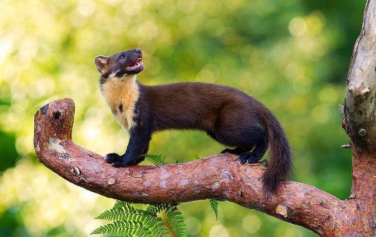 Как выглядит куница (фото): виртуозный лесной хищник - http://kot-pes.com/kak-vyglyadit-kunica-foto-virtuoznyj-lesnoj-xishhnik/