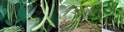 The Homestead Survival | Growing Bush Beans Helpful Tips | Homesteading & Gardening http://thehomesteadsurvival.com