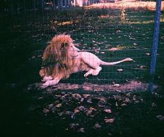 my best friend is a lion! (well she looks like on): Lion, Friends Jennifer, But, Kitty Cat, My Best Friends, Animal Friends, Animal Farms