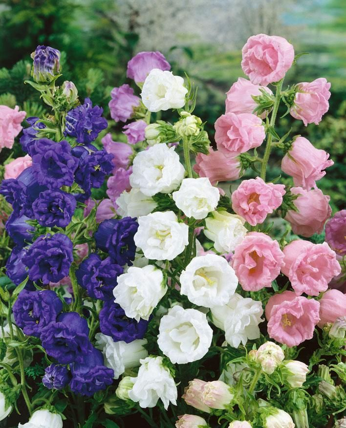 Fylld Mariaklocka, Campanula medium 'Summer Bells' | Tvåårig. Fyllda Mariaklockor är inte så vanligt. Här i en mix av blått, vitt och rosa i riktig torparstil. Fin i rabatt och bukett. Blomtid: Juni–juli. Höjd: 45–60 cm. Växtläge: Sol–halvskugga.