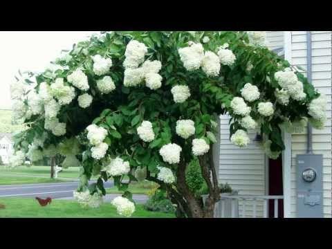 PeeGee PG Tree Hydrangea - Hydrangea paniculata 'Grandiflora' - Late Summer Flowering Shrub