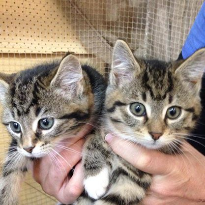 """Our little """"lap warmers"""" in store now. All our kittens come vaccinated, vet checked, microchipped, and come with the """"kitten pack"""" that is loaded with EVERYTHING you would need for a little kitten"""