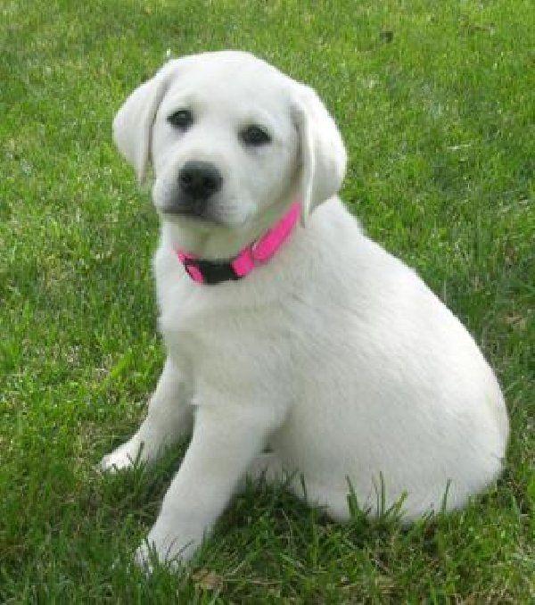 Labrador Retriever Puppies For
