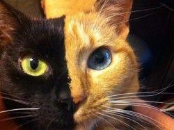 Två katter i en, bokstavligen!     Se bilder här:  - http://djurblogg.nu/tva-katter-i-en-bokstavligen/