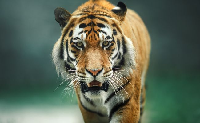 Is The 'Extinct' Javan Tiger Still Alive In Indonesia?   Care2 Causes