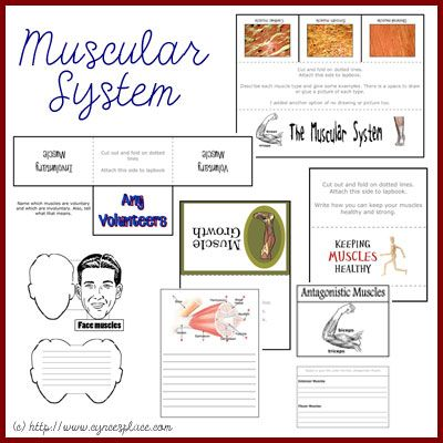 Anatomy Lapbook: Muscular System from Cynce's Place