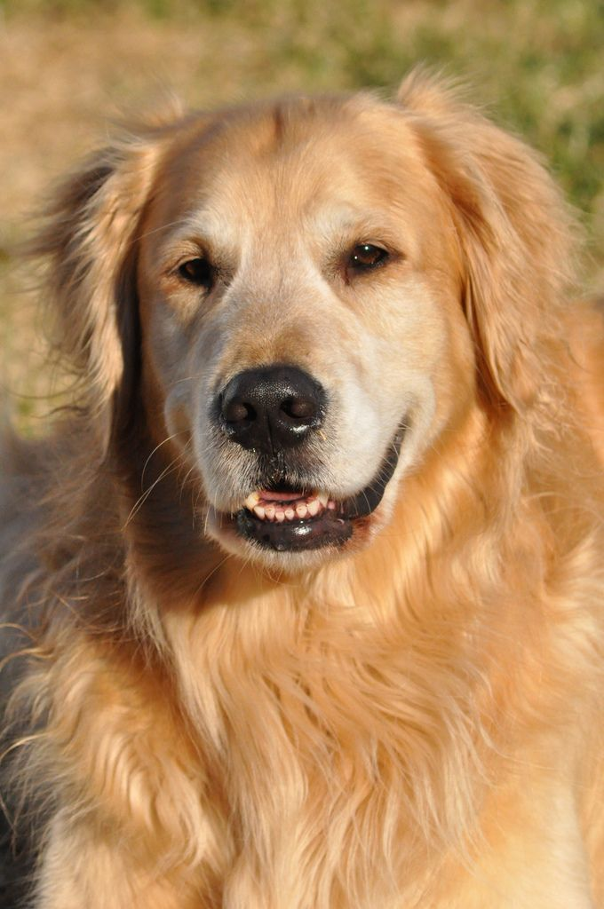 Follow Dog All Over S Board Golden Retrievers On Pinterest