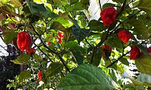 These are the chillies that Aden grows- Trinidad moruga scorpion - Wikipedia, the free encyclopedia