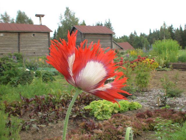 Takalo-Roppolan puutarha- ja mansikkatila: PIHAPIIRI