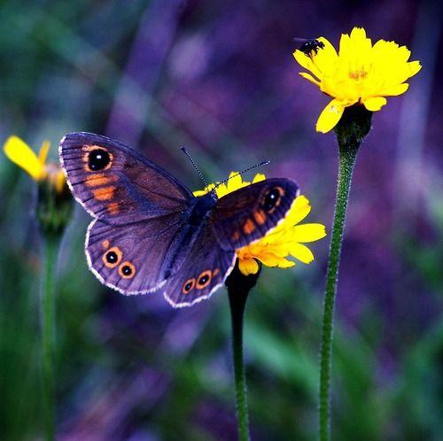 .God Creations, Beautiful Butterflies, Butterflies Flower Tattoo, Purple Butterflies, Vibrant Colors, Moth, God Creatures, Bright Colours, Yellow Flower