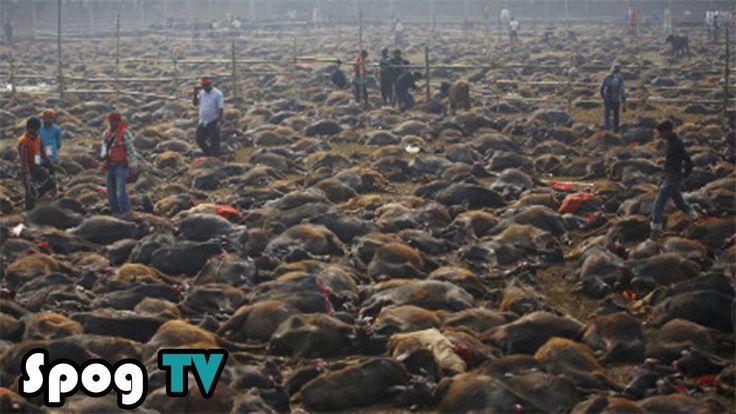 เนปาล สังเวยควายกว่า 200000 ชีวิต ในเทศกาล คาธิไม - Spog TV
