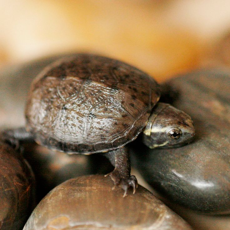 Baby Common Mud Turtles for sale at great prices. (Again, too small for a pet: only gets to be 3 - 4 inches. But look how fricken cute it is!)