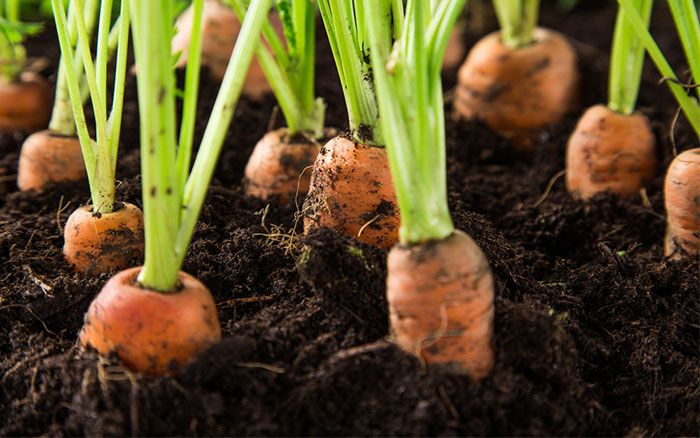 Digging over garden soil and preparing it for sowing or planting is vital for good plants.  It's about more than just breaking up the soil - it allows you to improve the structure and drainage, as well