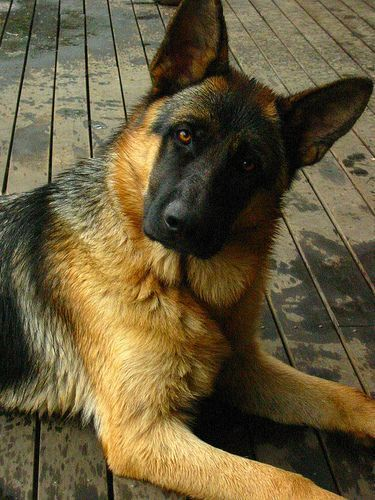 The most beautiful dogs on earth! The GSD!