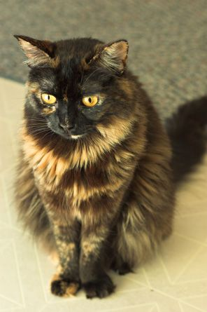 tortoiseshell cat pictures: my husband had one as a kid named Taffy <3