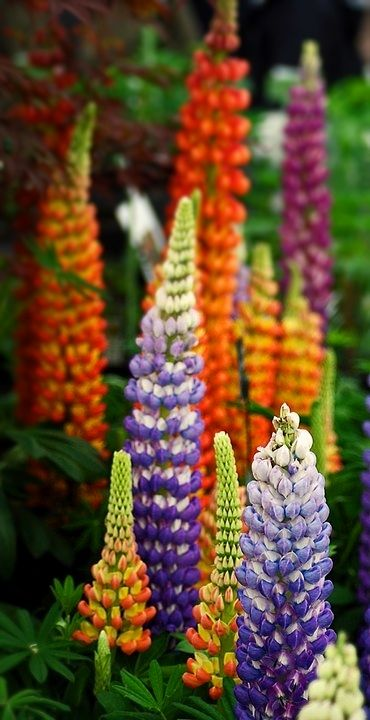 Lupines - fabulous if you can grow them. Touchy, hate being transplanted, short-lived perennial - but absolutely worth it. Plant in masses.