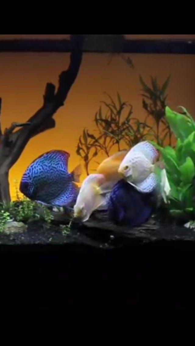 Aquarium poisson maison sexe tropical
