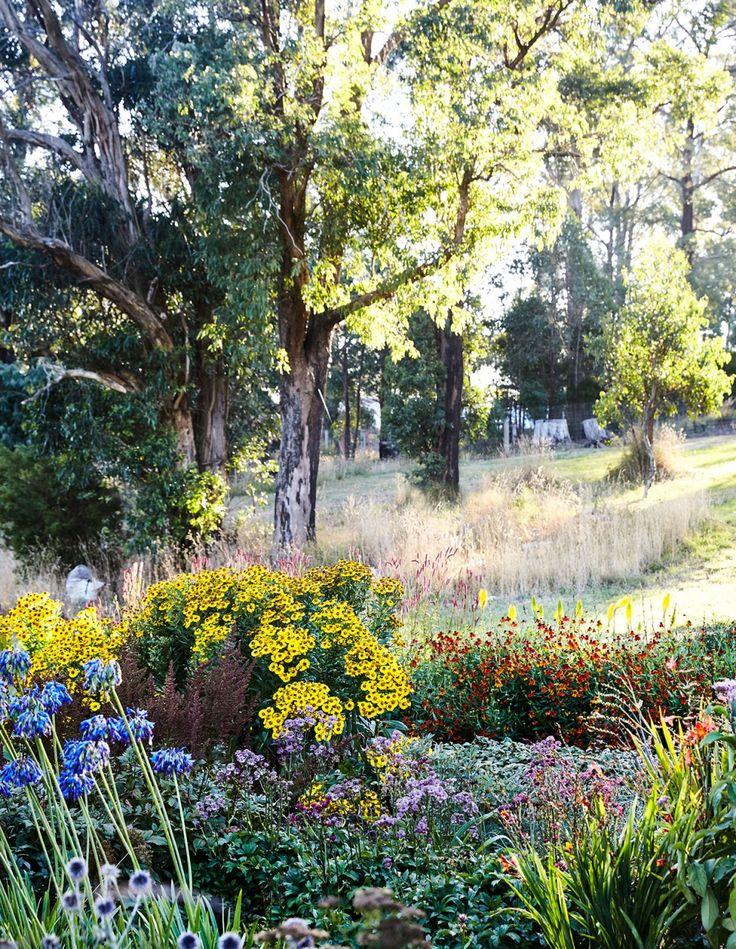 Agapanthus 'Bressingham Blue', Helenium 'Zimblesturn' (yellow shrub at back right) and Helenium 'Crimson Beauty' (back right). Photo – Caitlin Mills for The Design Files.
