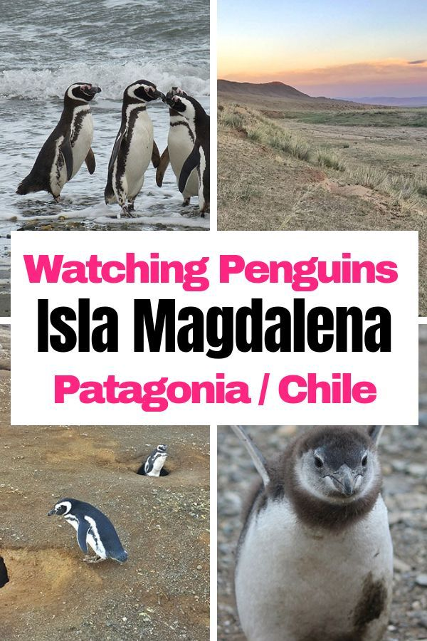 Penguins in Patagonia - Magdalena Island in Punta Arenas - MissAbroad |  South america travel, Top places to travel, America travel