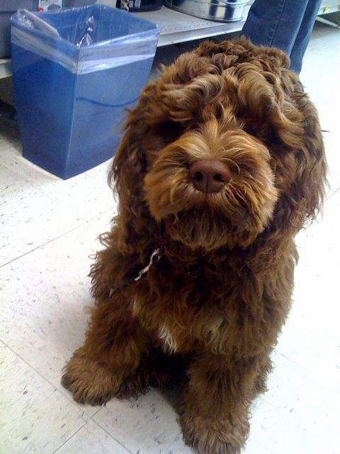 Toby, the chocolate cockapoo, stands guard at the local hardware store by AlliumOnOrcas, via Flickr